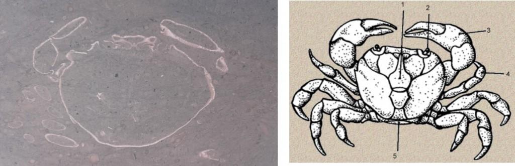 Partes de un cangrejo y fosil